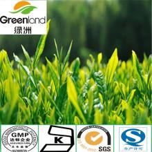 EGCG,Green Tea Polyphenol,Green Tea powder,Green Tea Extract