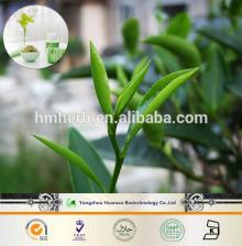 gmp professional manfacturer produce the tea extract powder