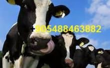 holstein heifers cattlel/ live sheep for sale