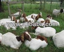 Boer Goats and Cows