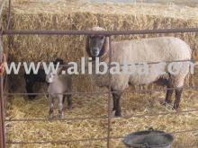 sheep , lamb ,  live   stock  , baby cow , baby bull , meat