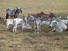Live and Pregnant Boer Goats/Holstein heifers/Cows/Camels/Sheeps/Horse