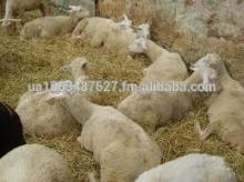 East Friesian Sheep, High  Milk  Producers, The Holsteins of Sheeps