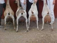 Live saanen goats for sale (high quality milk production