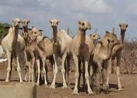 Live Male and Femal Camel