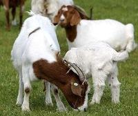 100% Full Blood Boer Goats,live Sheep, Cattle, Lambs