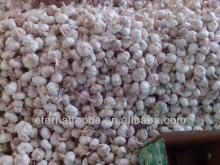 2013 fresh dry garlic