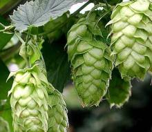 HOPS EXTRACT MAGNUM 30