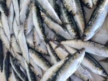 Frozen Sardines (MSC Certified)
