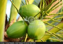 Best Quality Fresh Young Coconuts For Sale In Bulk.