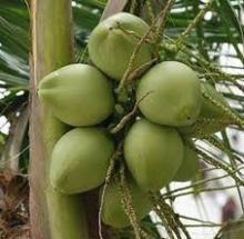 Organic Tender Coconuts