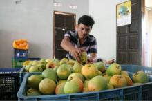 PREMIUM QUALITY MANGO FRUIT