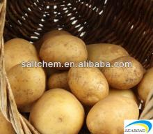 new season holland potato from china