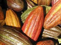 Organic Criollo Cocoa (Cacao) Beans, Nibs, Butter, Powder