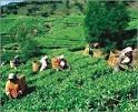Tea  from   Bangladesh