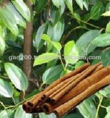 Cinnamomum verum, Cinnamon Tree