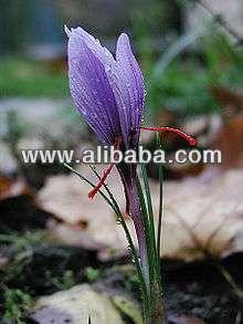 saffron corms seeds herbs colchicicum salajit dry fruits