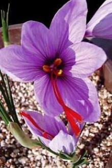 saffron bulbs/corms products,India saffron bulbs/corms ... Kashmiri Saffron Corms For Sale