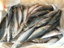 New landing Frozen mackerel 2015