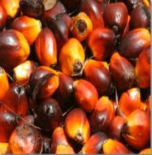 crude palm oil seed