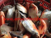 Red Pomfret fresh frozen high quality