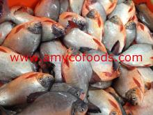 Red Pomfret Whole Round fresh frozen good quality