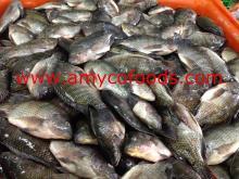 Black Tilapia Fish Whole Round