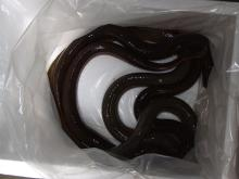 Live /fresh eel fish, Glass eel ,elver and adult eel
