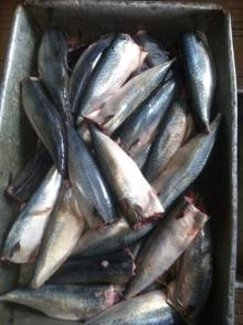 100/200g  canned   Pacific   mackerel  HGT