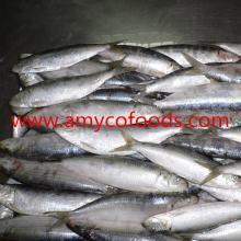 Sardines frozen good quality