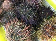 Fresh Sea Urchin