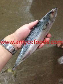 Mackerel WR Good quality