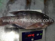 Frozen Tilapia Fish Whole Round 800+