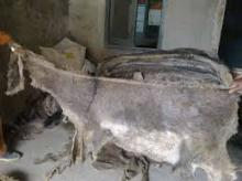 Wet Salted Donkey Hides From South Africa