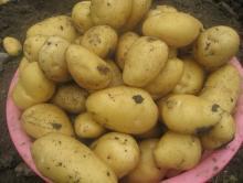 Sell Fresh New Chinese Potatoes