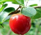 Acerola extract 17%-25% Vitamin C