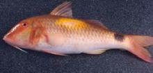 Red Mullet(fish)