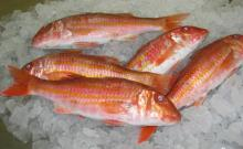 Red Mullet (Mullus Barbatus)