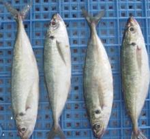 Whole Frozen Jack Mackerel