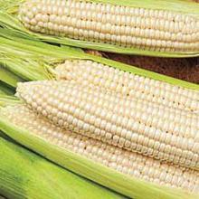 Frozen sweet white corn maize