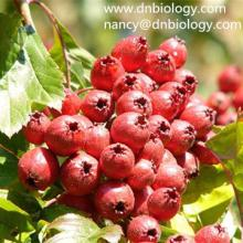 Hawthorn berry Extract Hawthorn Extract
