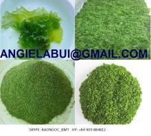 Sea Lettuce Ulva lactuca/ green seaweed