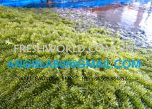 Sea grapes,seagrape, Green Caviar, Caulerpa lentillifera, dried seagrape powder