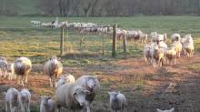 Cheap Sheep from Moldova - Karakul and Tsigai sheep