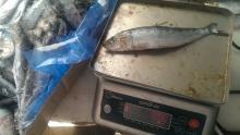 Frozen Sardines WR