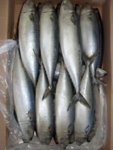 Whole Frozen Pacific Mackerel