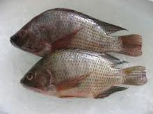 Frozen Whole Tilapia