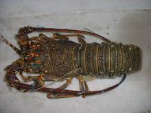 Frozen Sea Lobsters