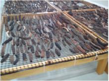 dried sea cucumber polii tubulosa