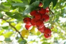 Pure Natural Hawthorn Extract